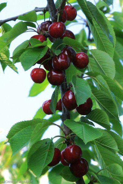 prunus avium 39 burlat 39 prunus cerisiers cerezo cherry kirsche cerisier arbres. Black Bedroom Furniture Sets. Home Design Ideas