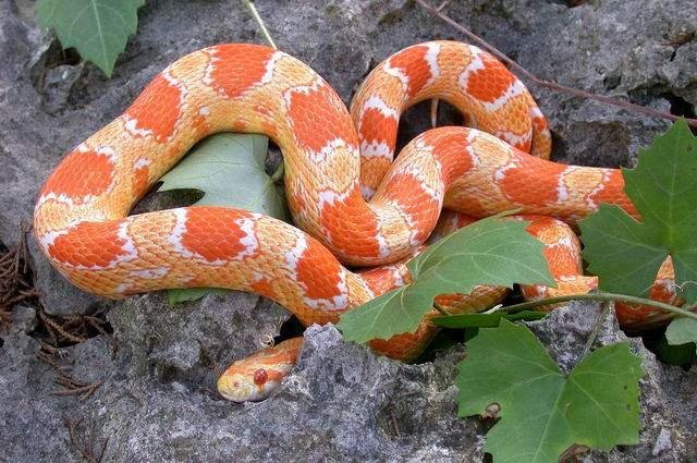 Creamsicle Corn Snake Okeetee Corn Snake Corn Snake Snake Lovers
