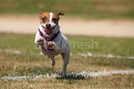 Image result for jack russell pictures gallery