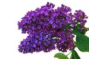 Lilac Syringa Vulgaris Flower Essence Flower Essences Lilac Tree Lilac Flowers