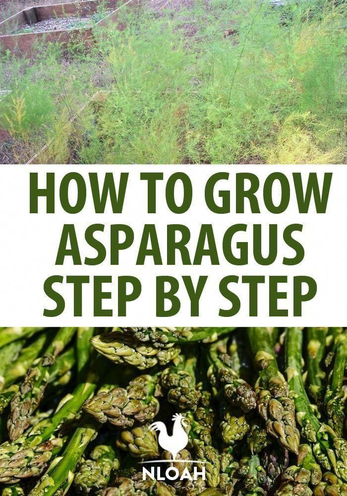 Everything you need to know about growing asparagus in any climate. you need to know about growing asparagus in any climate.