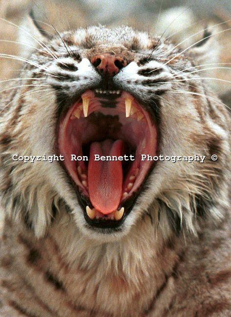 bobcat yawn cat teeth teeth bobcat lynx felidae predator