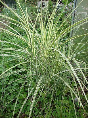 Okrasné trávy: Miscanthus sinensis
