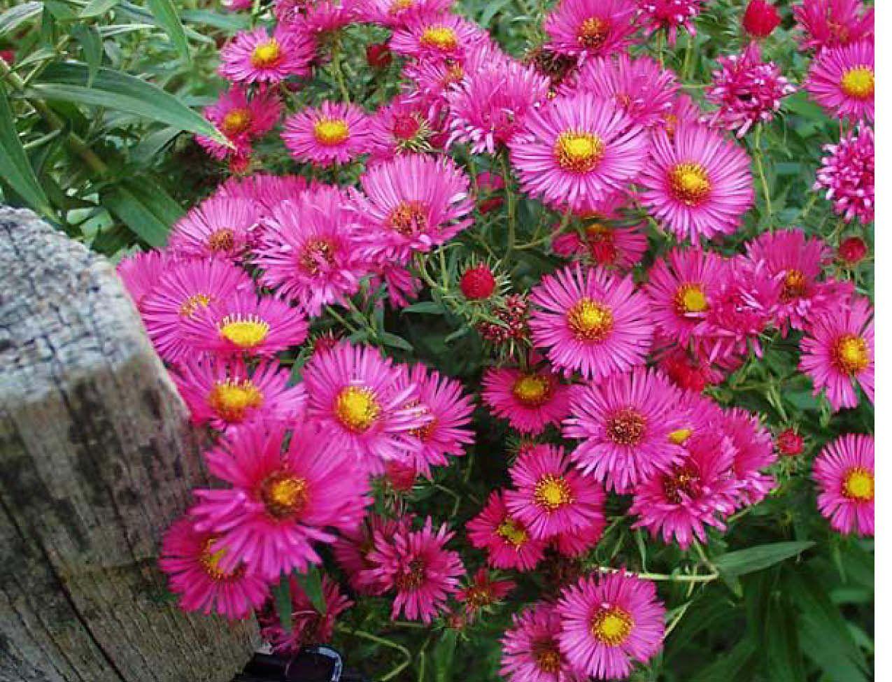 Aster Alma Potschke Sunnyside Gardens Aster Flower Pink Perennials Flower Seeds