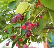 Oklahoma Wild Fruit- Wild foraging in Oklahoma! Wouldn't this be a great family activity?
