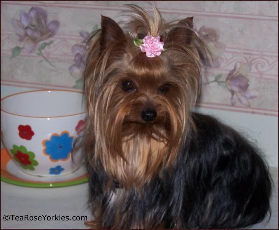 Tiny Yorkie Hair Bows Pet Care Pinterest Yorkie Yorkshire