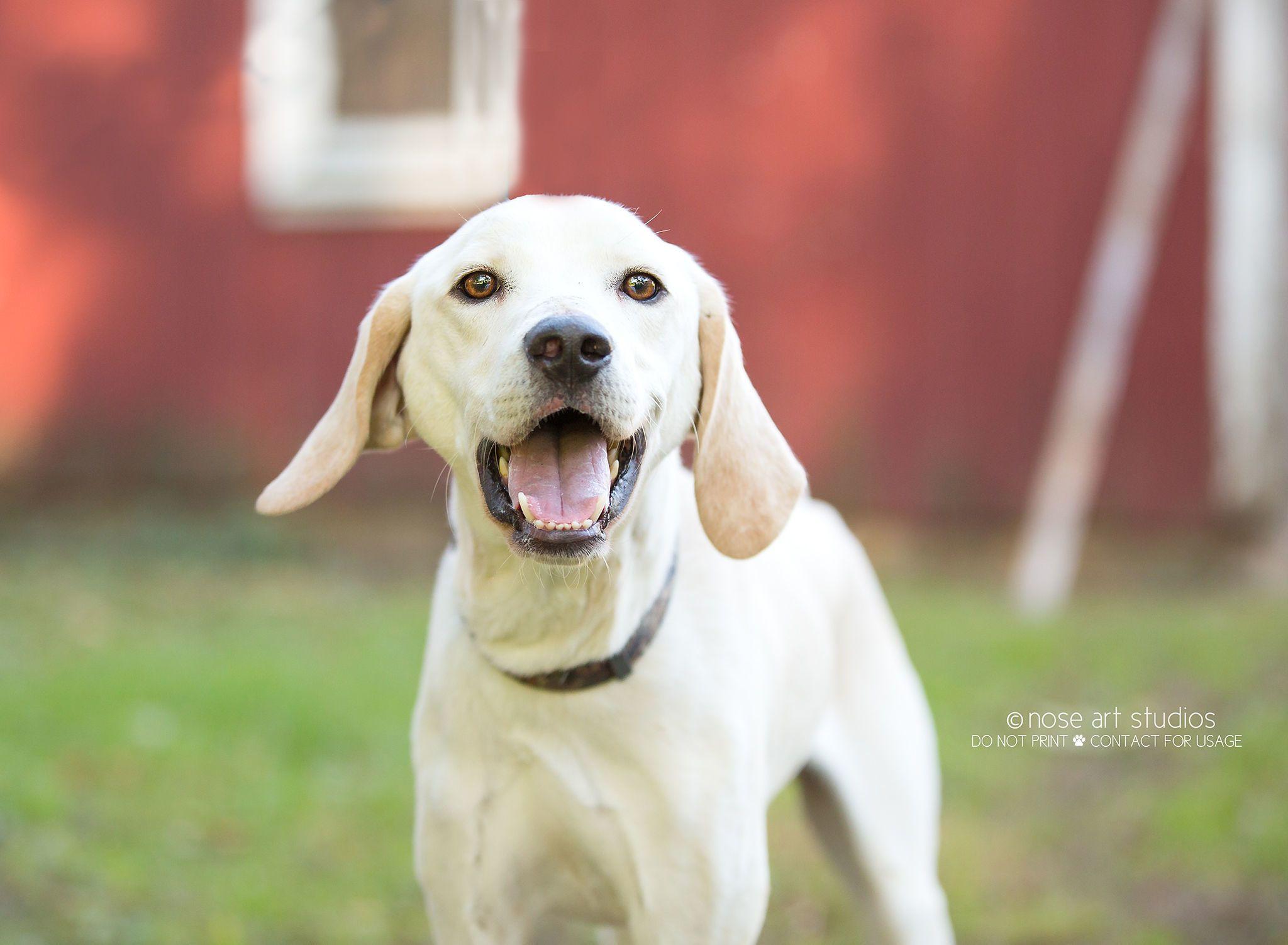 Adopt Harley on Labrador retriever mix, Dogs, Labrador