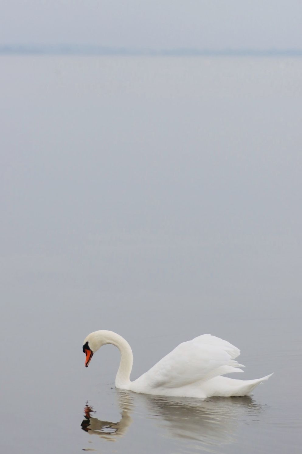 The beauty of nature. #swan #nature #art #photography #naturephotography #lake #photographyart #animal #wildlife #canonphotography #outdoorbeauty #outdoor