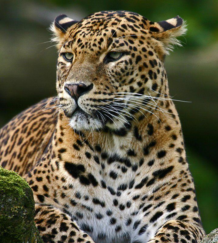 The Sri Lankan leopard is an endangered leopard that is