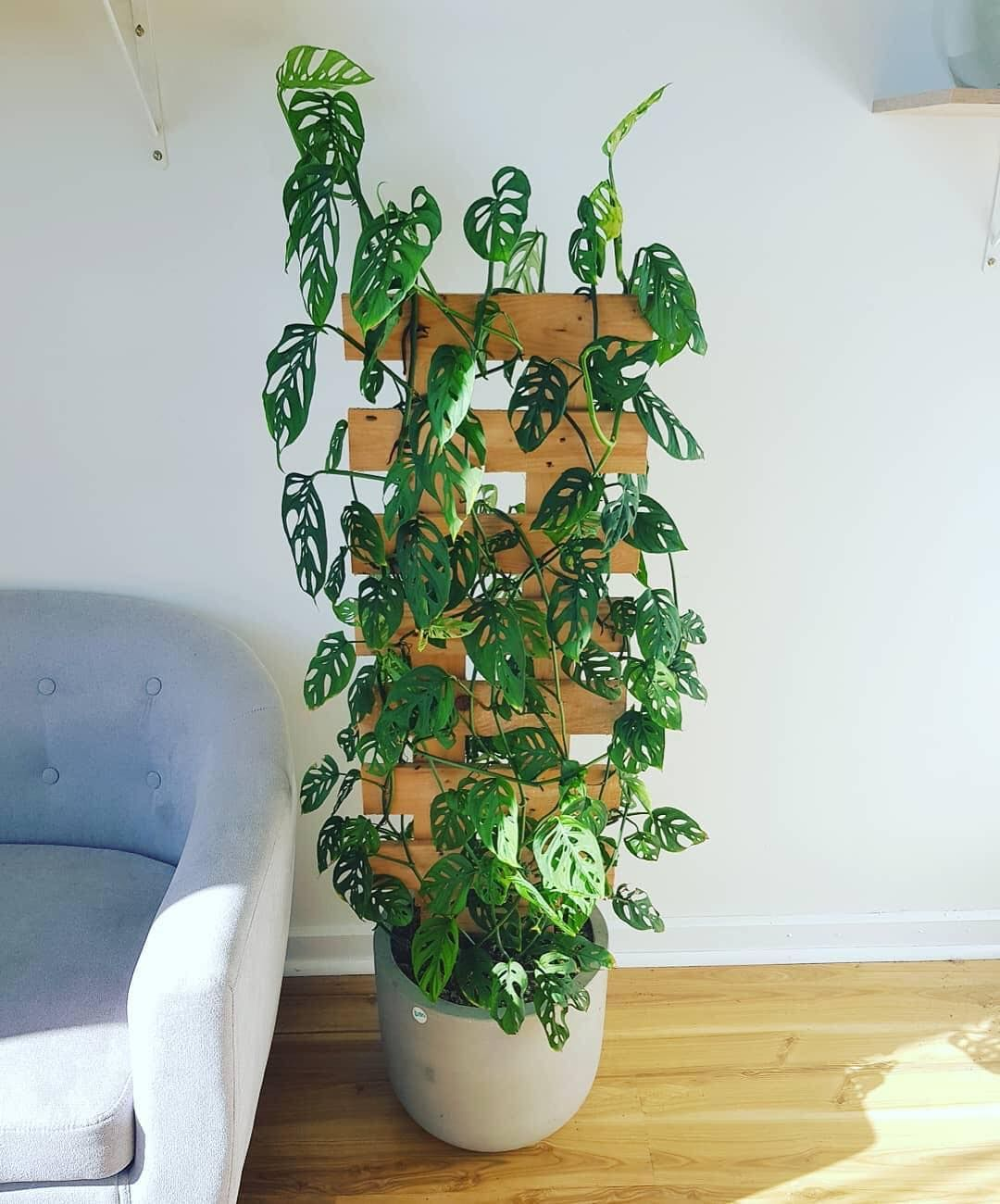 We Love A Good Climber Indoor Climbing Plants Plants 400 x 300