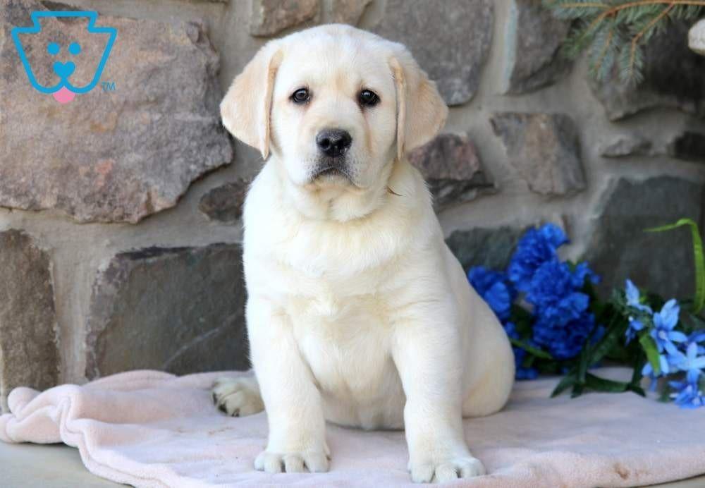 Flag Labrador Retriever Labrador Puppies