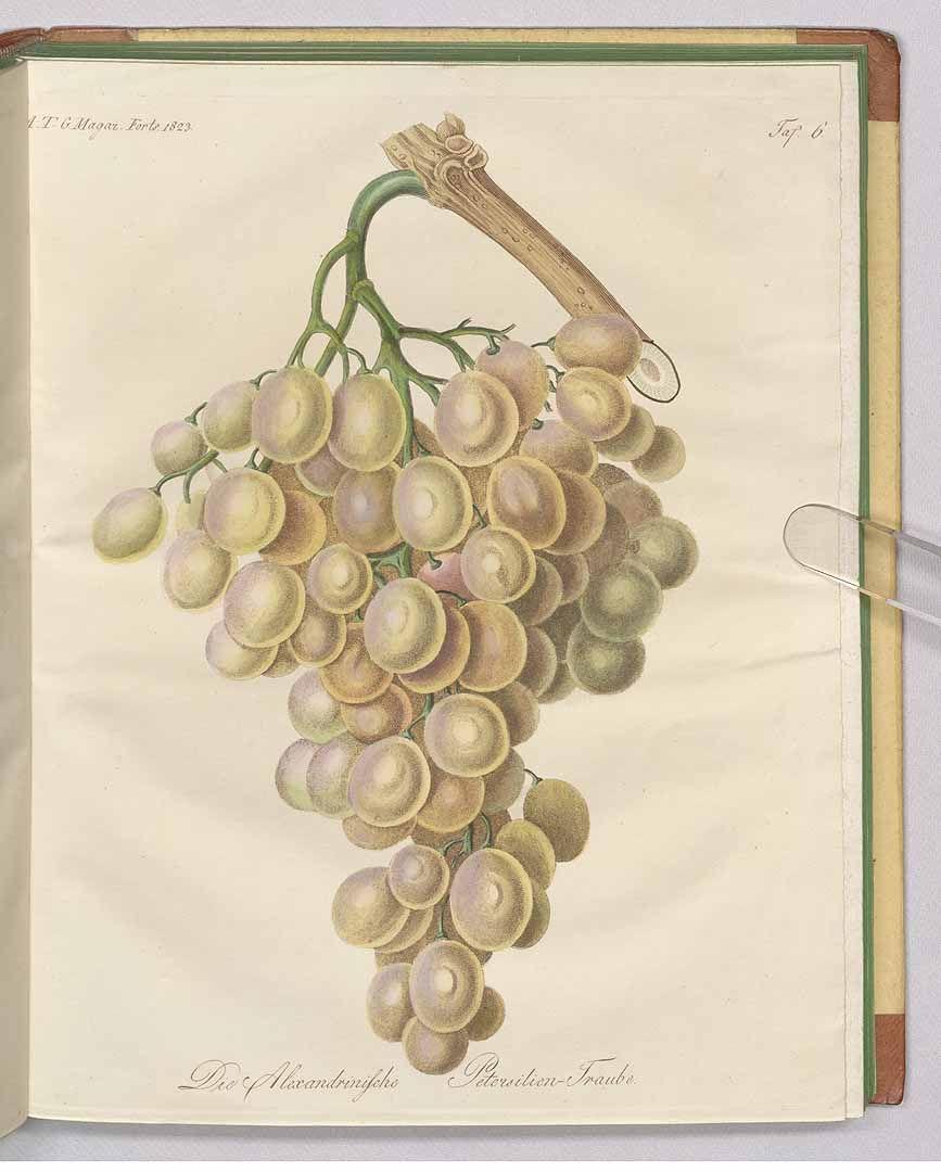 241625 Vitis vinifera L. / Fortsetzung des Allgemeinen teutschen Garten-Magazin oder gemeinnützige Beiträge für alle Theile des praktischen Gartenwesens [J.F. Bertuch], vol. 7: t. 6 (1823)