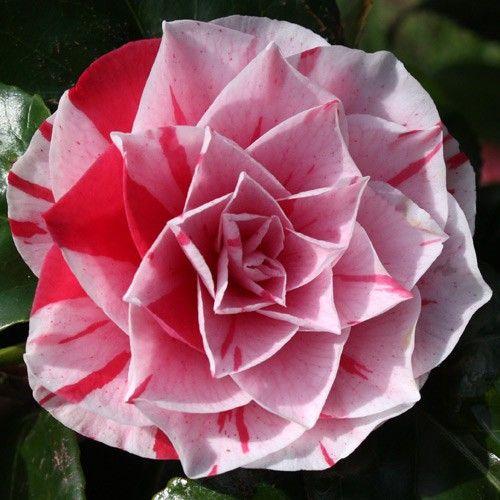 Jim S Camellias Gallery M Beautiful Flowers Virtual Flowers Pink Plant