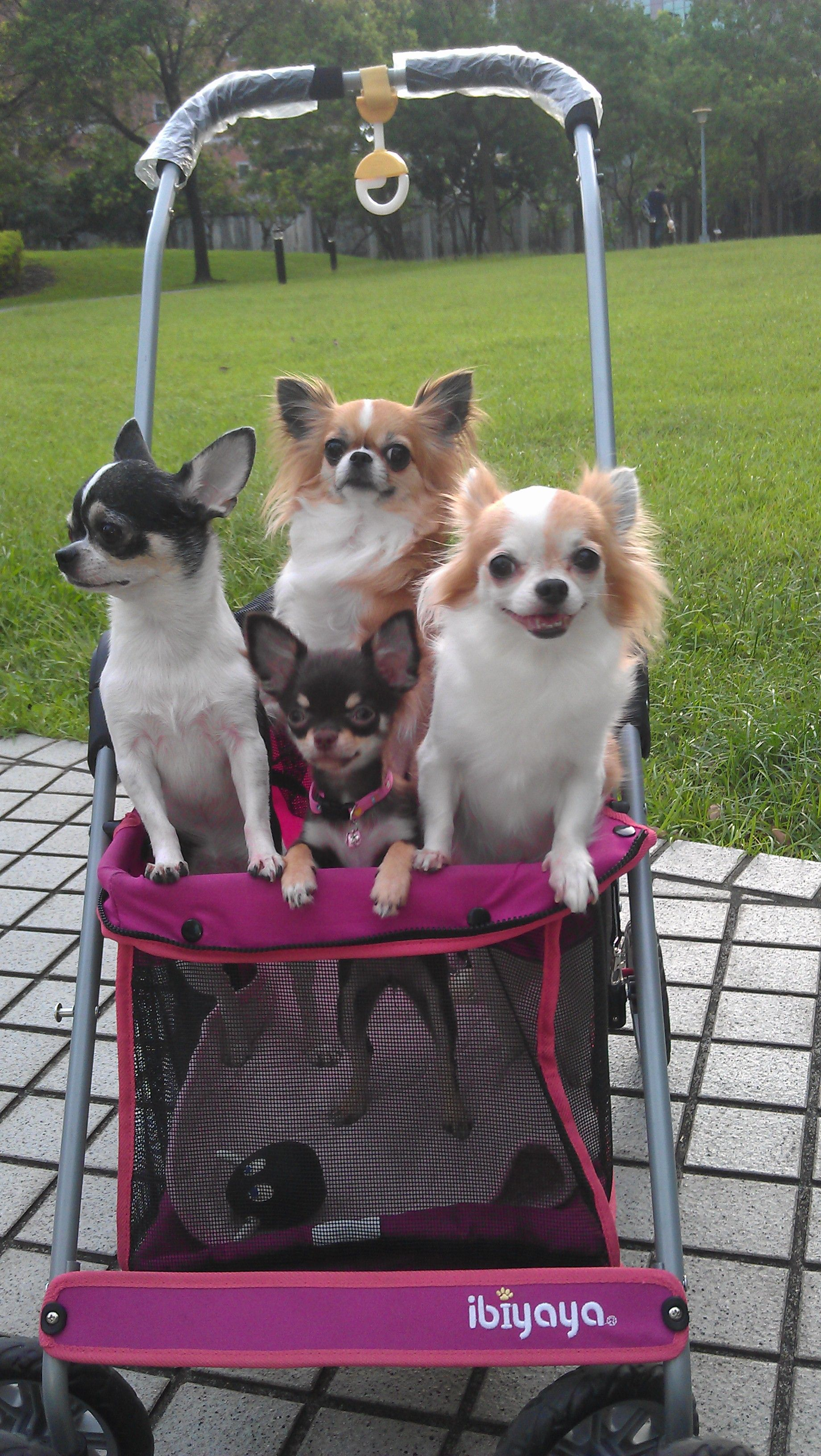 Chihuahua paryty in IBIYAYA Pink Pet Jogger. City Elite