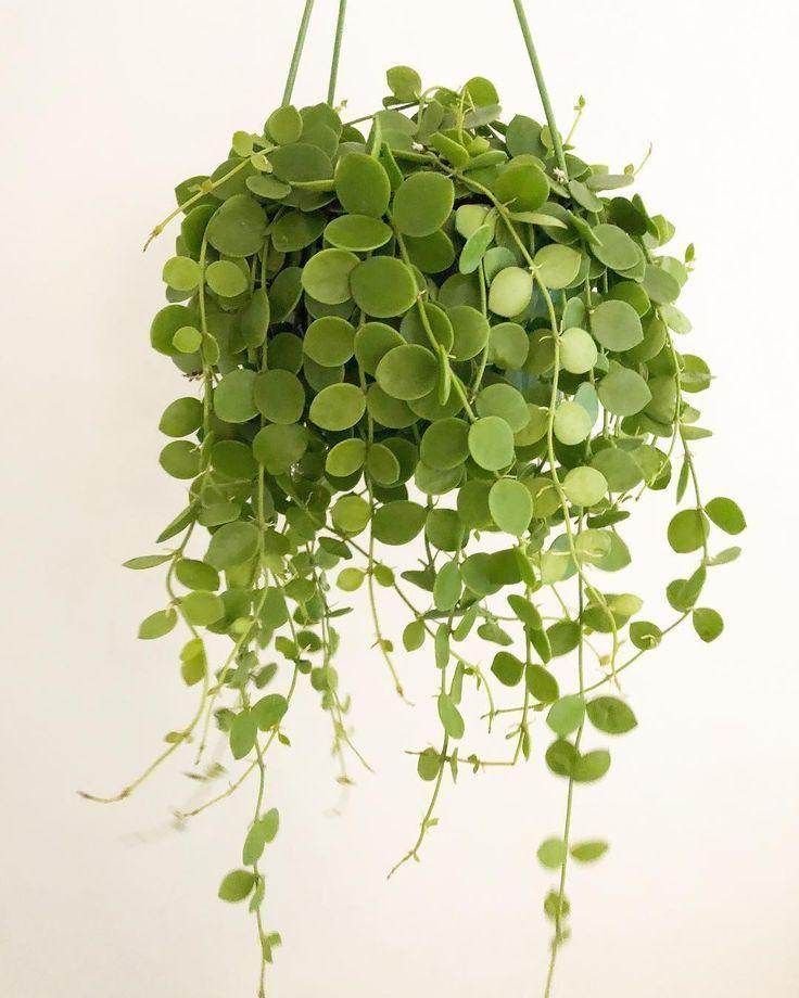 dischidianummularia (string of nickels) - #coins #dischidianummularia #Nickels #String #indoorplants