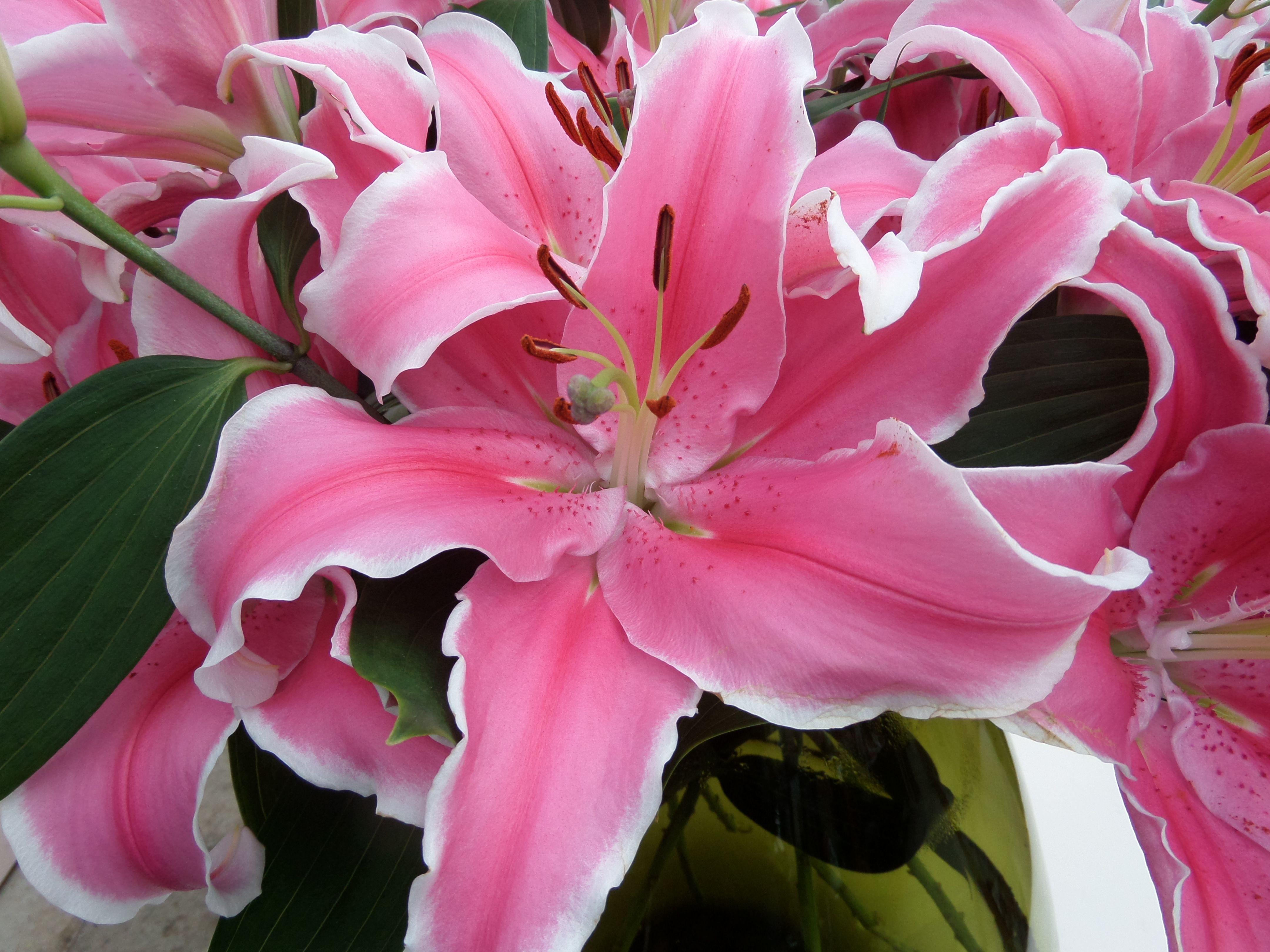Lily Pink Flower Bulbs Pinterest