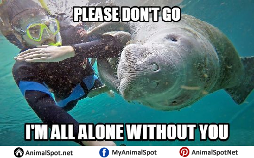 dc81189065c21e243f86d2b793b3fb18 pictures of manatee memes different types of funny animal memes