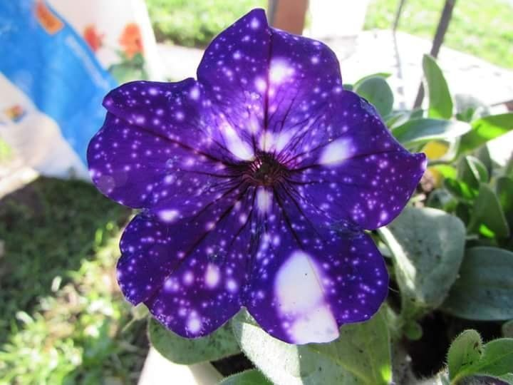 Why Is It Difficult To Find Seeds Of Night Sky Petunia From Ball