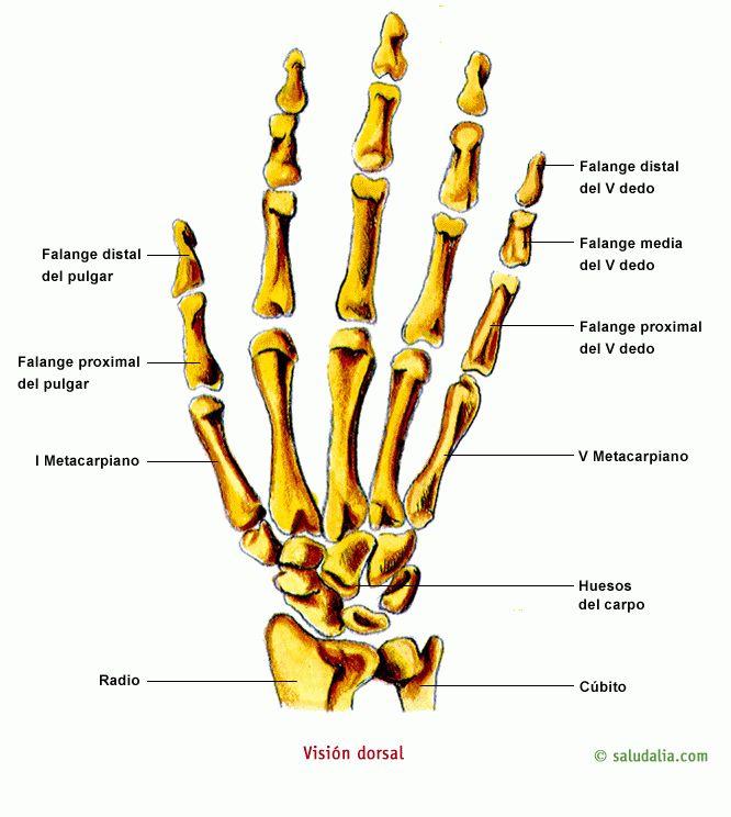 Huesos de la mano   Cuerpo humano   Pinterest