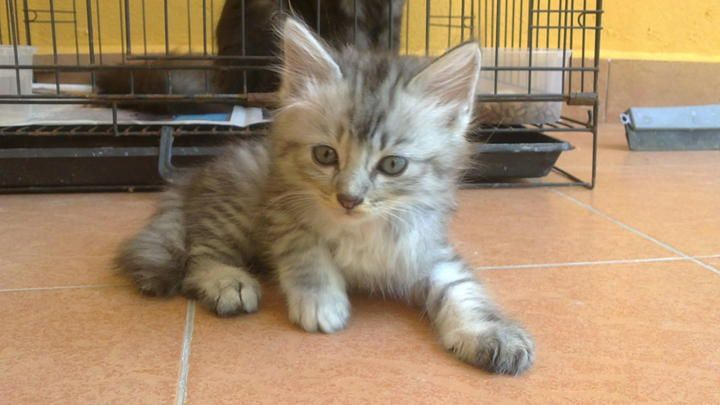 Persian Kittens Sold 3 Years 11 Months Mix Persian Kitten From Puchong Selangor Persian Kittens Kittens Pets