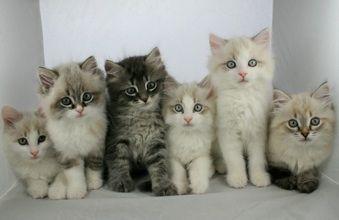Pin By Sadrina Ali On Cute Funny Pets Siberian Kittens Cat