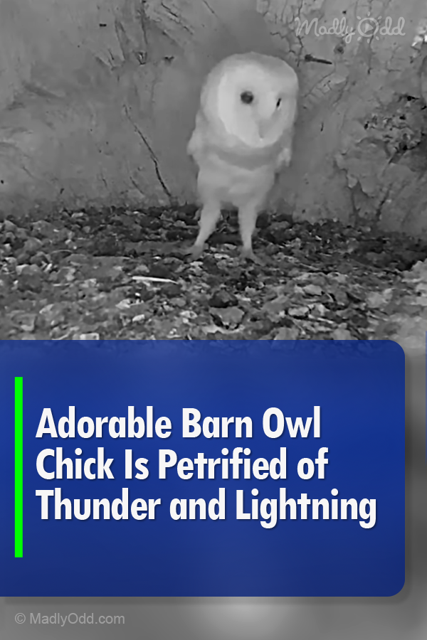An adorable baby barn owl cowers at the sound of a booming ...