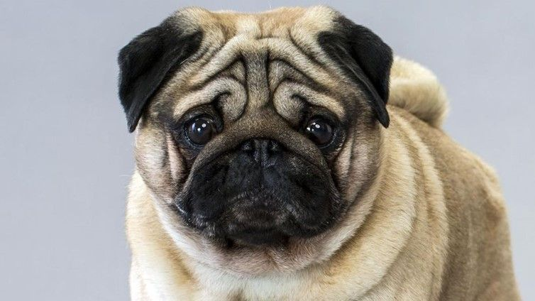 How Do You Get Your Pug To Stop Snoring Howtoquitsnoring
