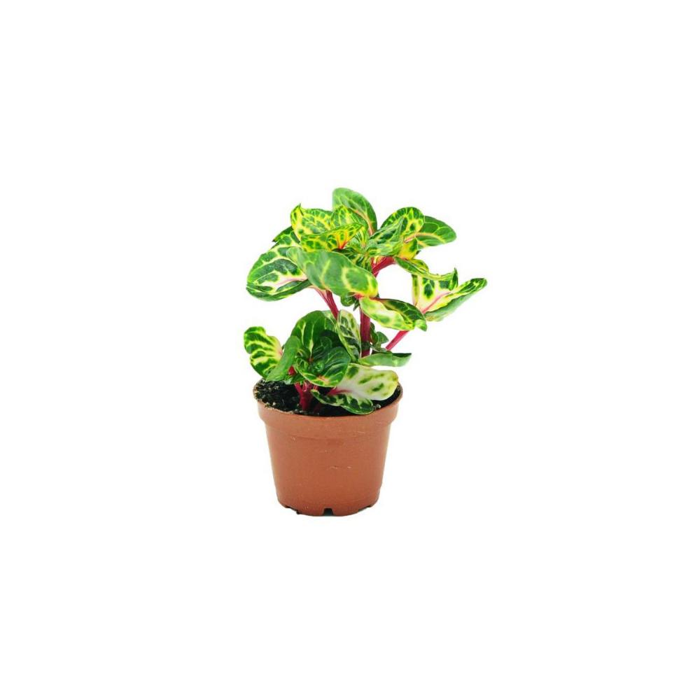 Irezyna Mix 10 Cm Kwiaty Doniczkowe W Atrakcyjnej Cenie W Sklepach Leroy Merlin Planter Pots Planters 10 Things