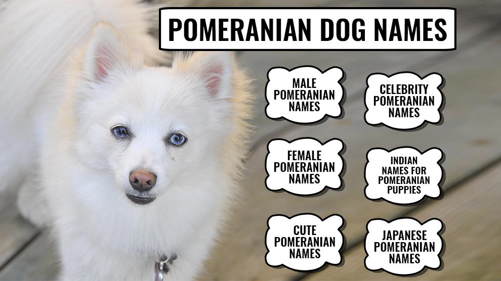 110 Best Pomeranian Dog Names With Meanings Petmoo In 2020 Pomeranian Dog Dog Names Toy Pomeranian