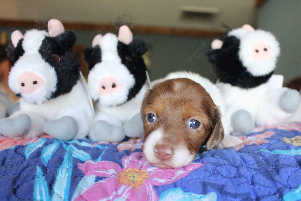 Chocolate piebald miniature dachshund puppy dachshund
