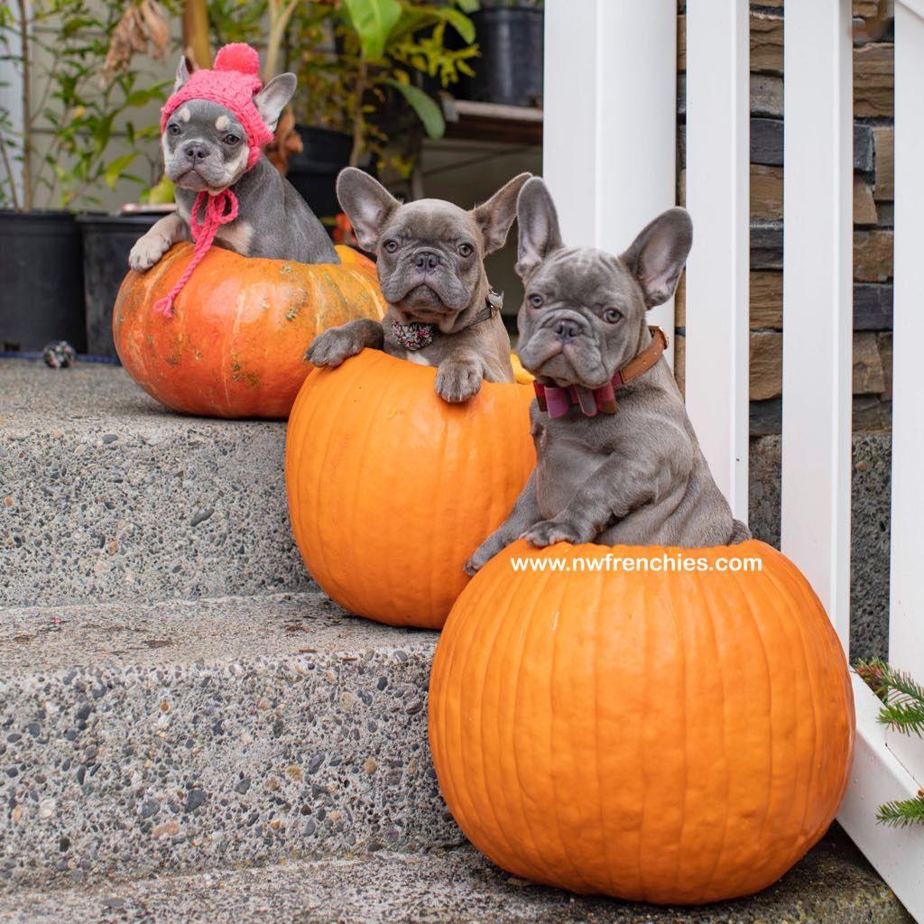 Nw Frenchies Lilac French Bulldog Www Nwfrenchies Com French Bulldog Breeder In Washington State French Bulldog Puppies Bulldog Puppies Pug Puppies