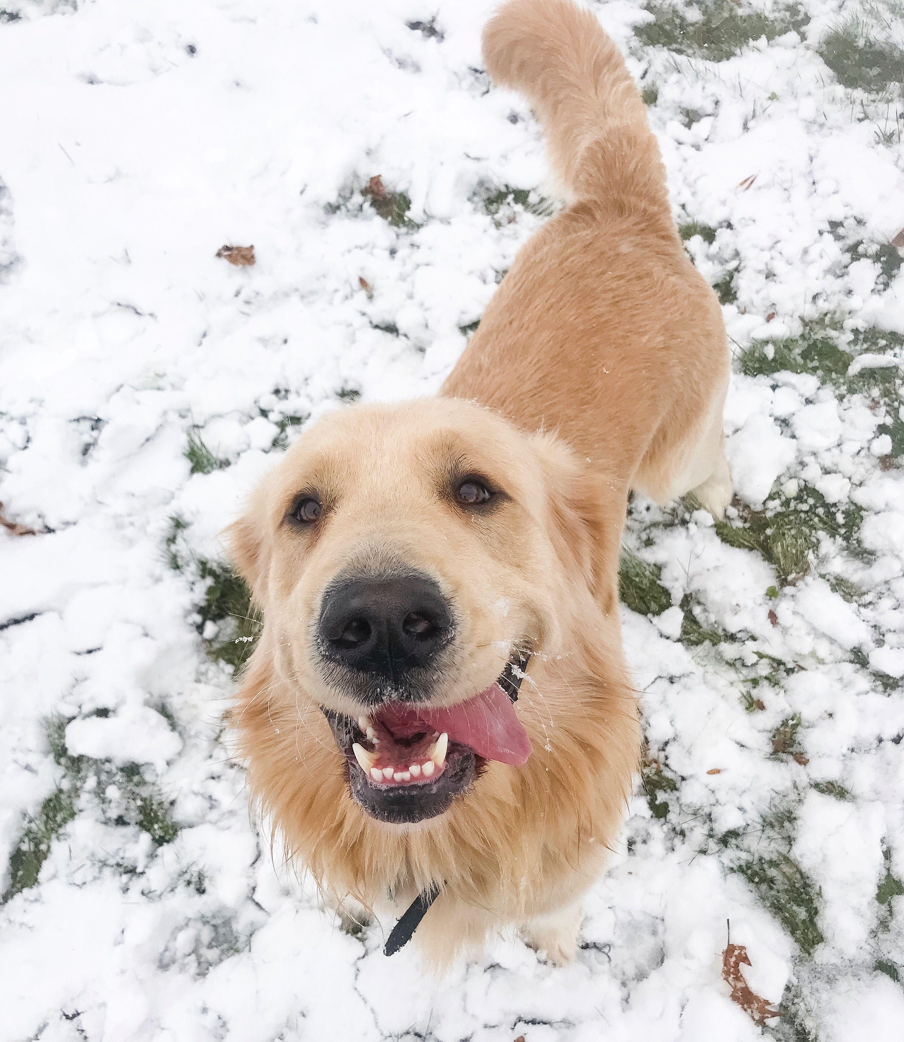 Golden Retriever Joyful Jax From Maine Showing Off His Best Smile