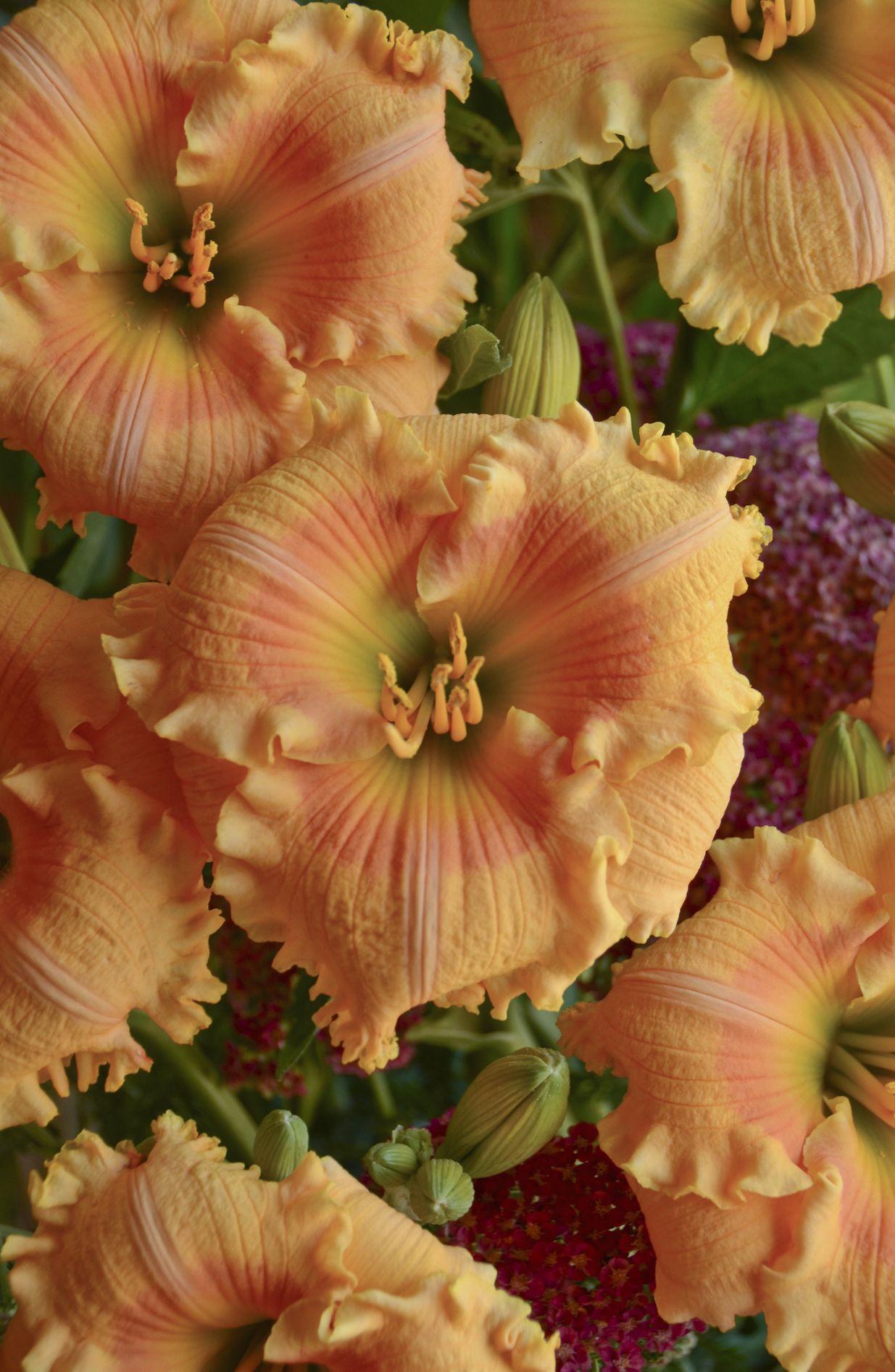 Rainbow Rhythm® \'Orange Smoothie\' - Daylily - Hemerocallis hybrid ...