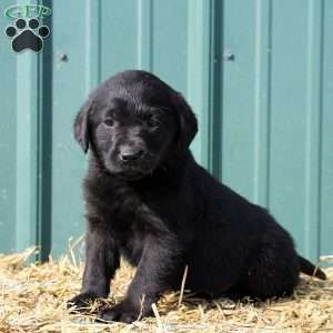 Black Labrador Retriever Puppies For Sale #labradorretrieverpuppies