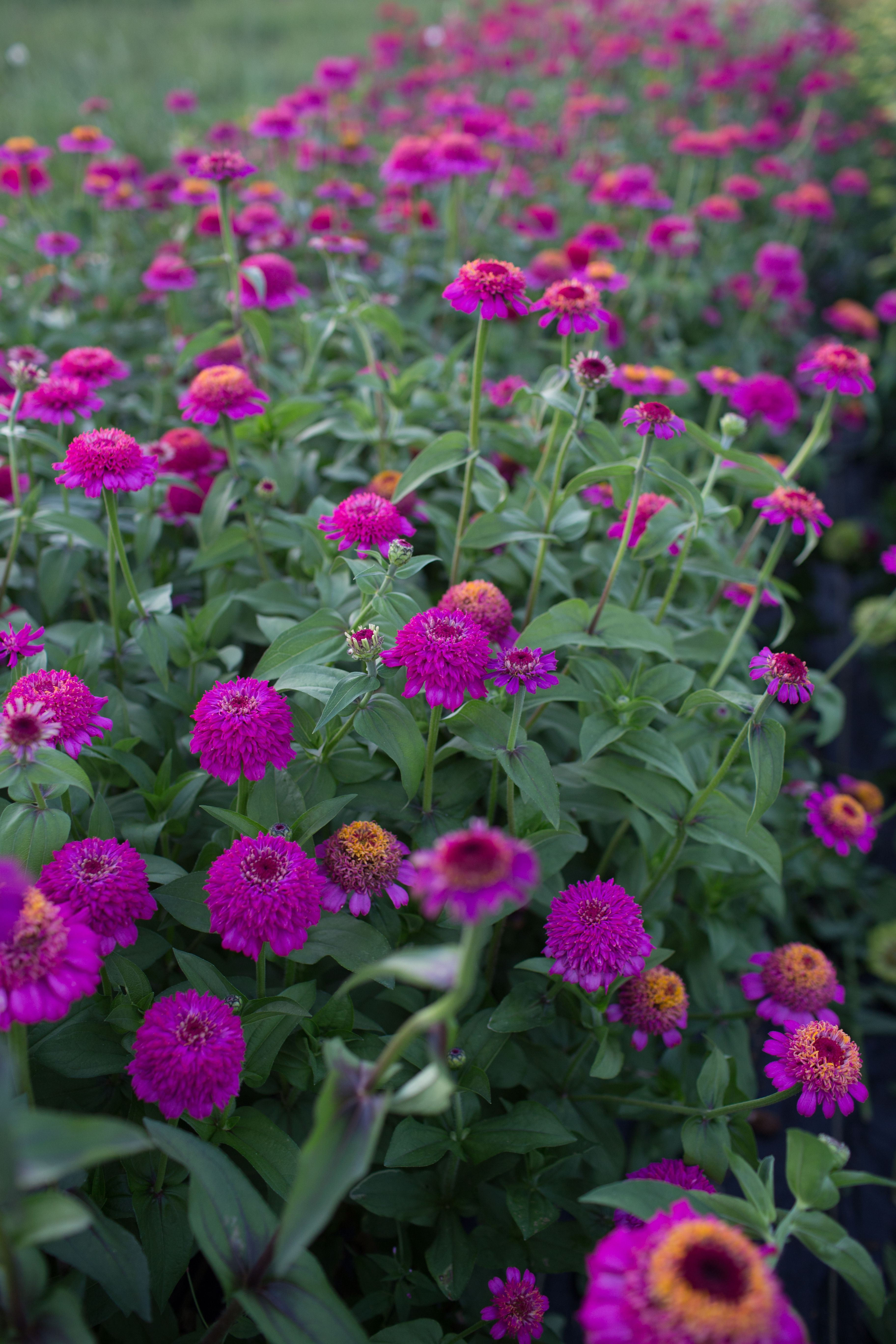 Heat tolerant and easy to grow these classic cutting garden flowers heat tolerant and easy to grow these classic cutting garden flowers bloom all izmirmasajfo