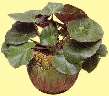 Begonia 39 erythrophylla 39 begonias rhyzomateux pinterest for Kajuard plantes