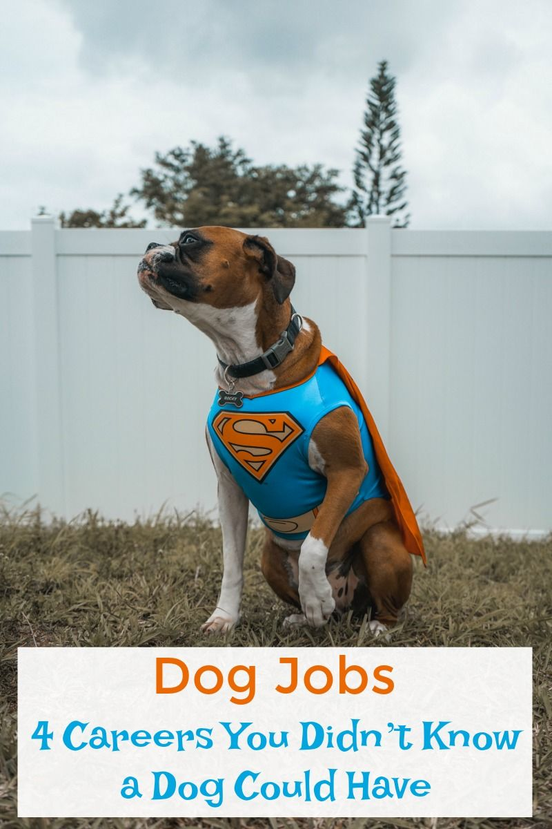 Dog Jobs 4 Careers You Didn T Know A Dog Could Have Dog