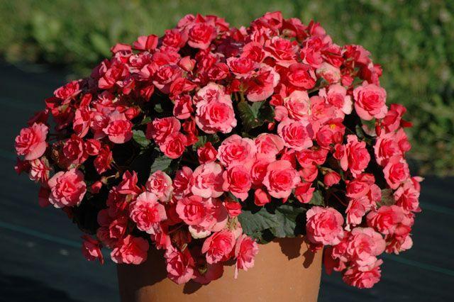 Begonia Elatior Seria Solenia Patio Y Jardin Plantas