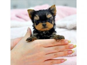 Yorkshire Terrier Puppies For Sale Florida We Ship Micro