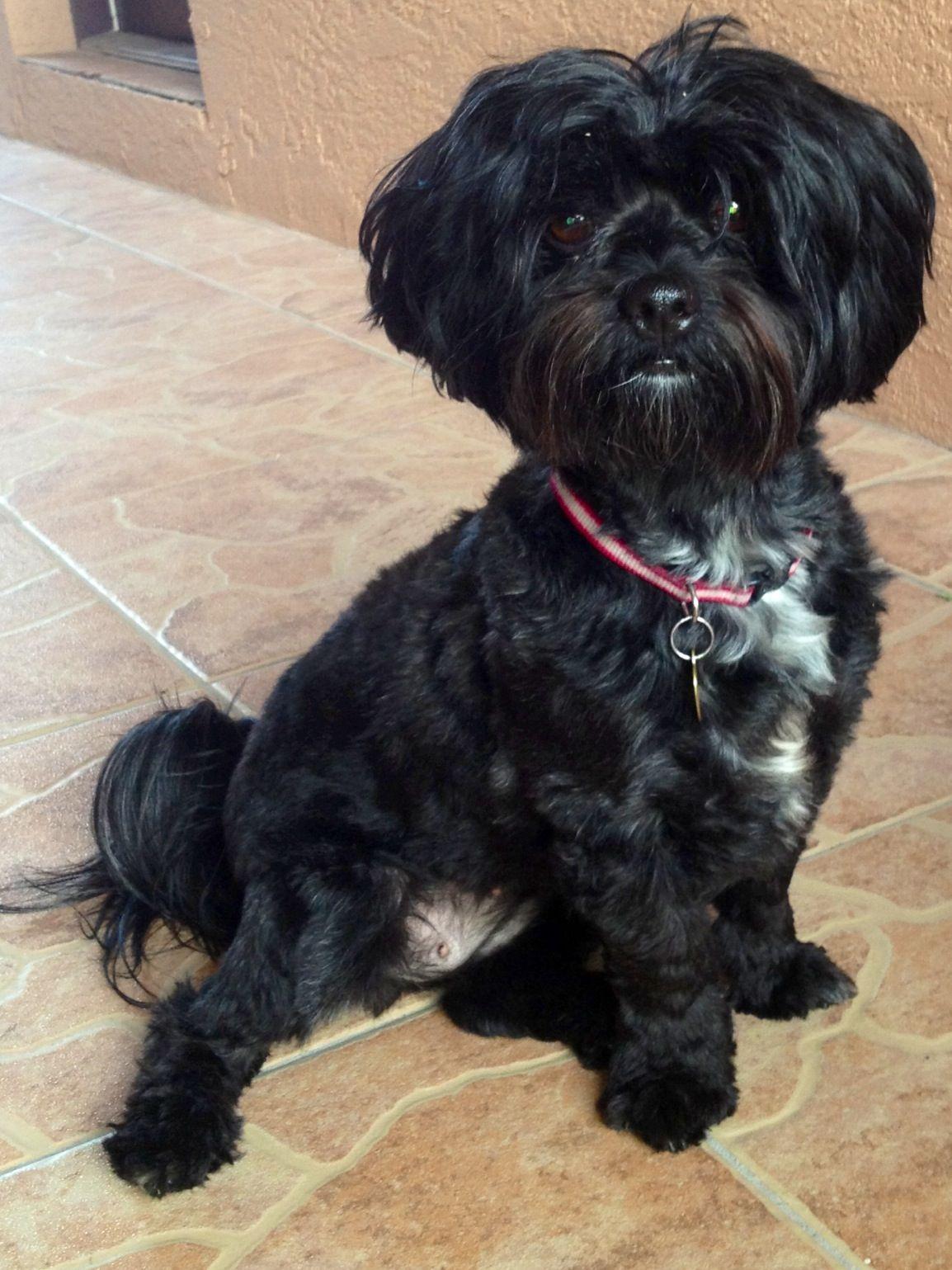 Black Shipoo Poodle Mix Dogs Shitzu Poodle Mix Shitzu Poodle