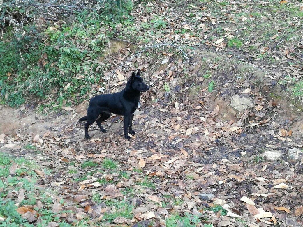 Cane Da Pastore Delle Alpi Apuane Apuane Dogs Animals E Panther