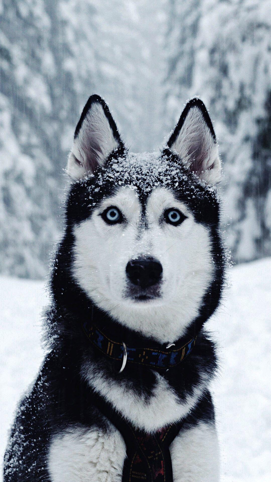 Idea By Lana Mason On Wallpapers Husky Dogs Cute Husky