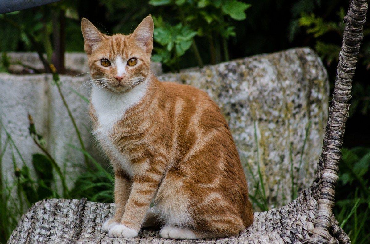Bengal Cat Silver tabby cat, Orange tabby cats, Cute