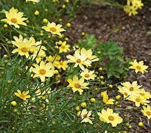 Coreopsis Perennial Flowers Are A Soft Yellow