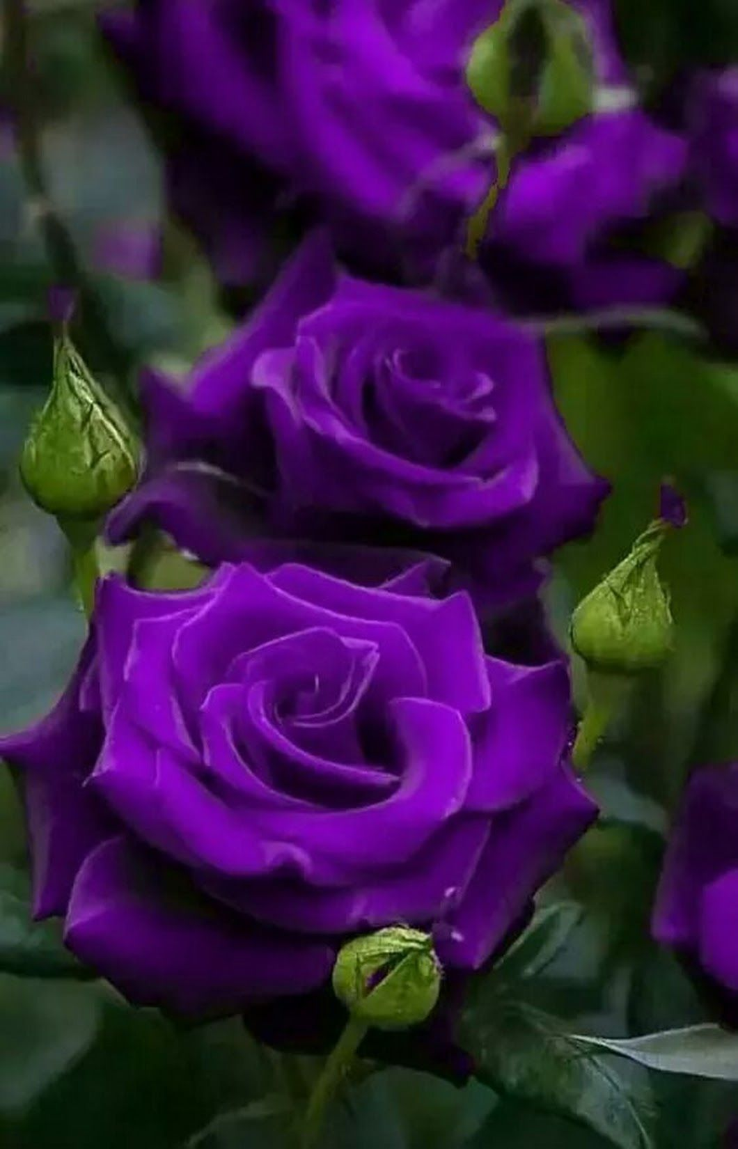 Growing Healthy Rose Bushes With Images Purple Roses Purple