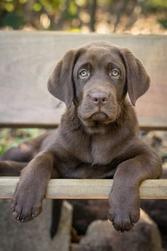 Chocolate Labrador Retriever Labradorretriever Chocolate Labrador Retriever Labrador Retriever Labrador Retriever Funny