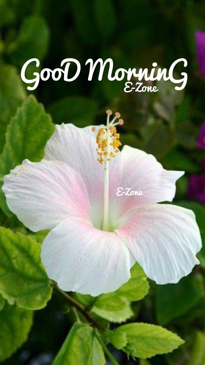 Pin by Eron on good morning Hibiscus plant, Growing