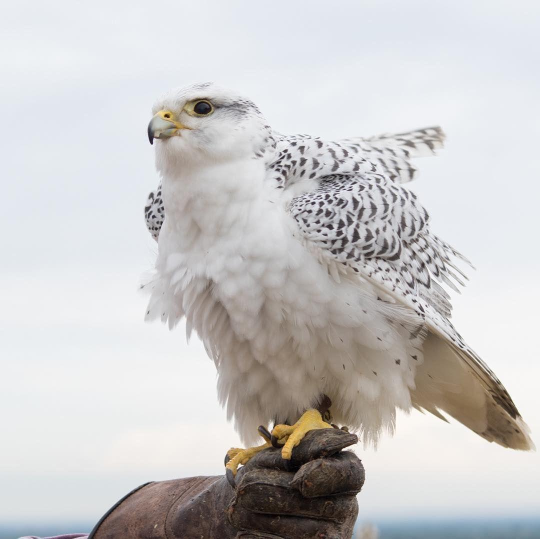 Another Shot Of Mattox He S A Stud Gyrfalcon Falcon Birdsofprey Raptorsknowwhosboss Beautiful Birds Bald Eagle Birds Of Prey