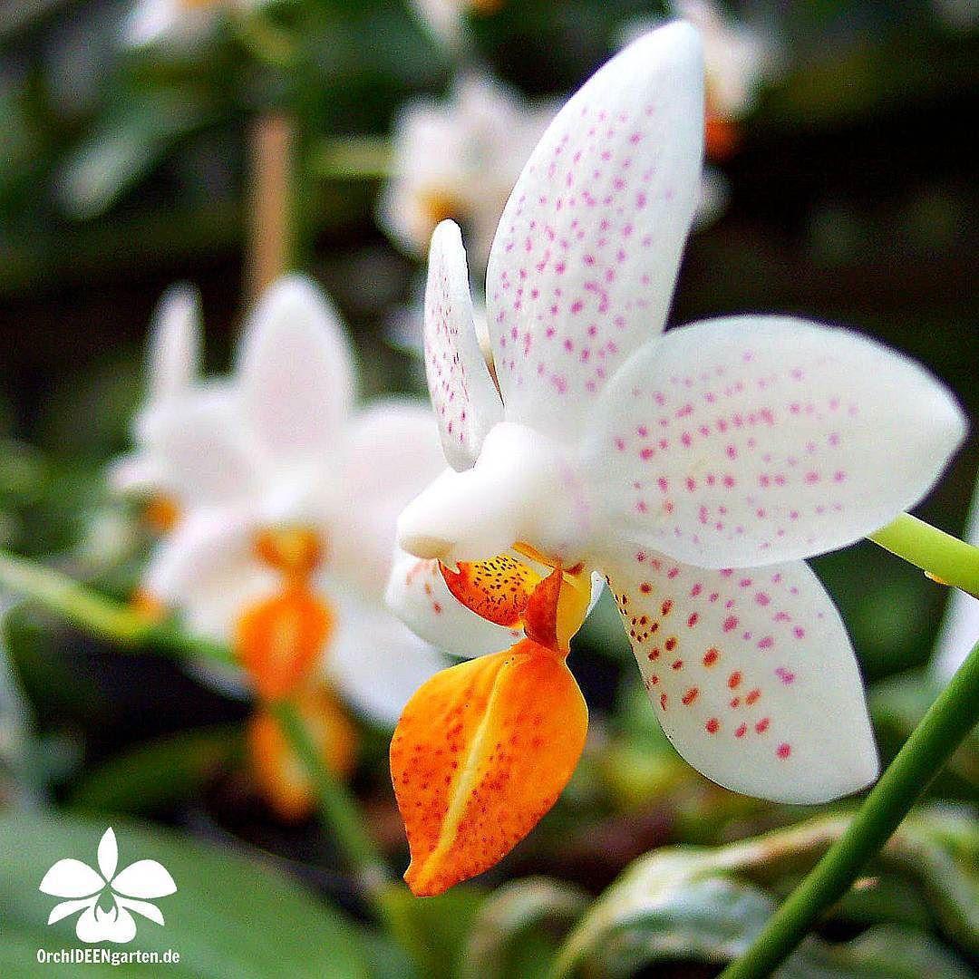 Phalaenopsis Mini Mark Orchids Orchidee Orchideen