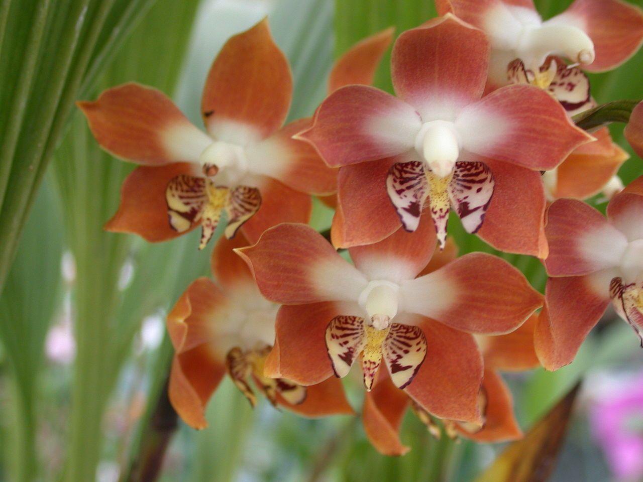 Orchid neomoorea irrorata native to columbia panama nervilia